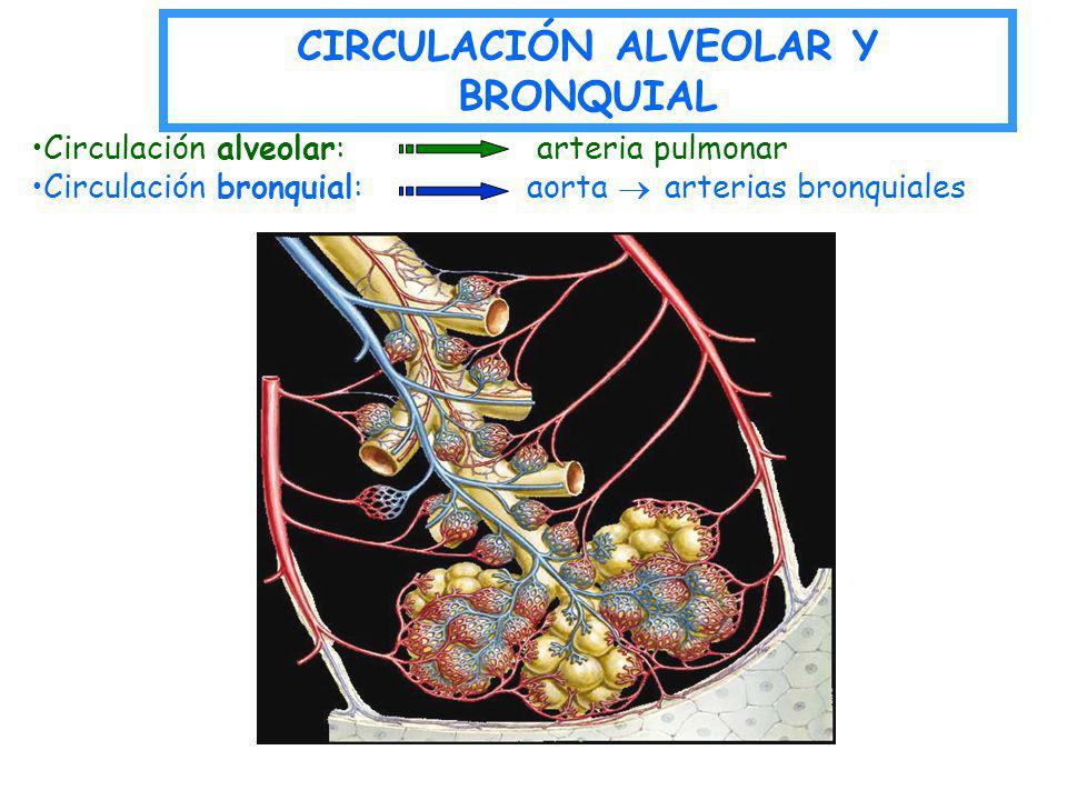 Circulación alveolar: arteria pulmonar Circulación bronquial: aorta arterias bronquiales CIRCULACIÓN ALVEOLAR Y BRONQUIAL