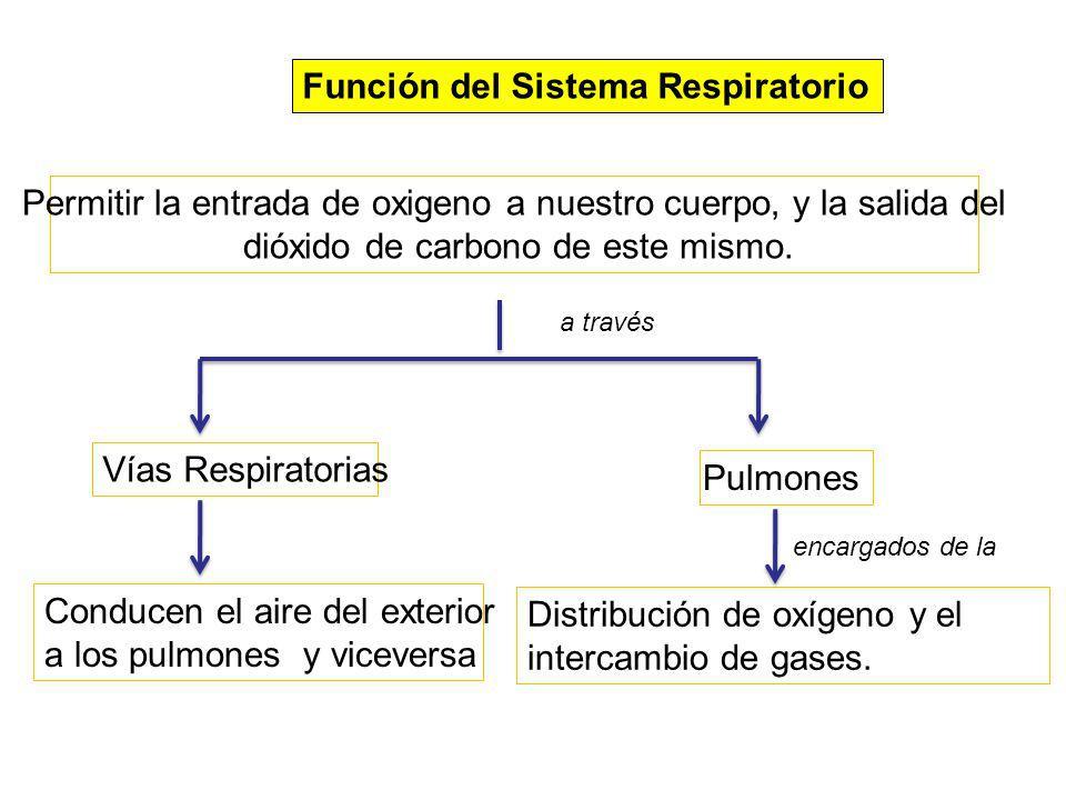 Función del Sistema Respiratorio Permitir la entrada de oxigeno a nuestro cuerpo, y la salida del dióxido de carbono de este mismo. Vías Respiratorias