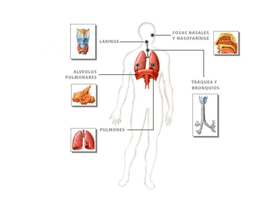 Vías Respiratorias Fosas nasales Faringe Laringe Tráquea Bronquios Alveolos son las: Bronquiolos