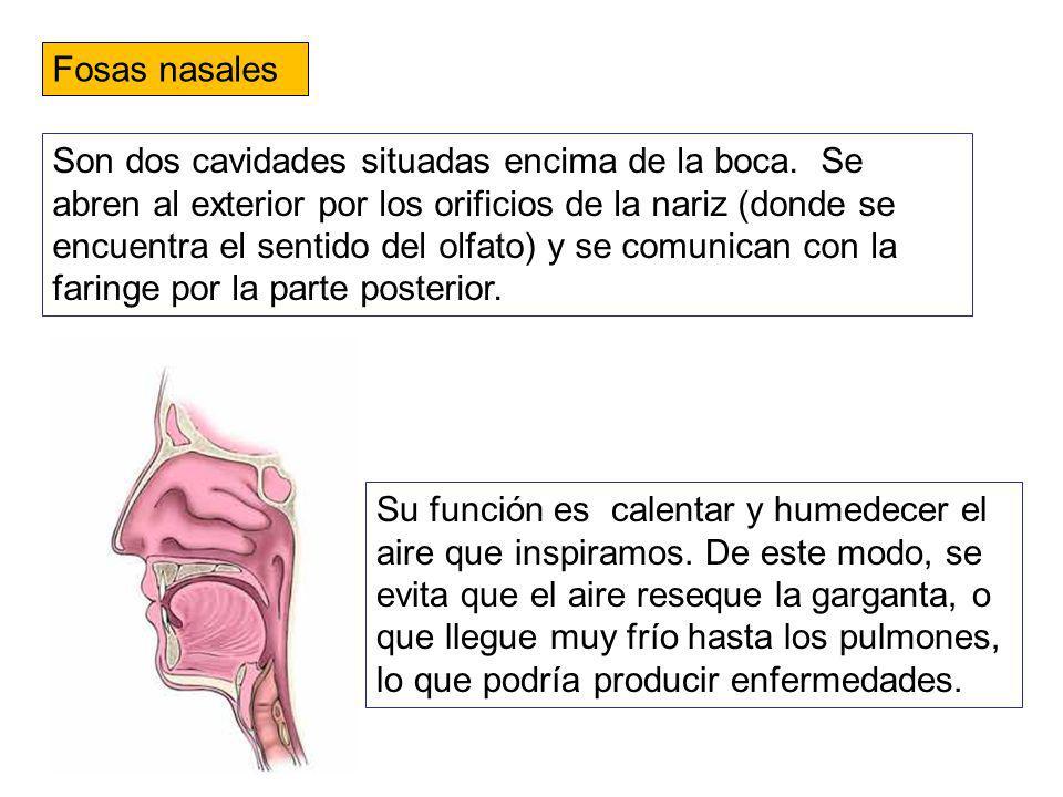 Fosas nasales Son dos cavidades situadas encima de la boca. Se abren al exterior por los orificios de la nariz (donde se encuentra el sentido del olfa