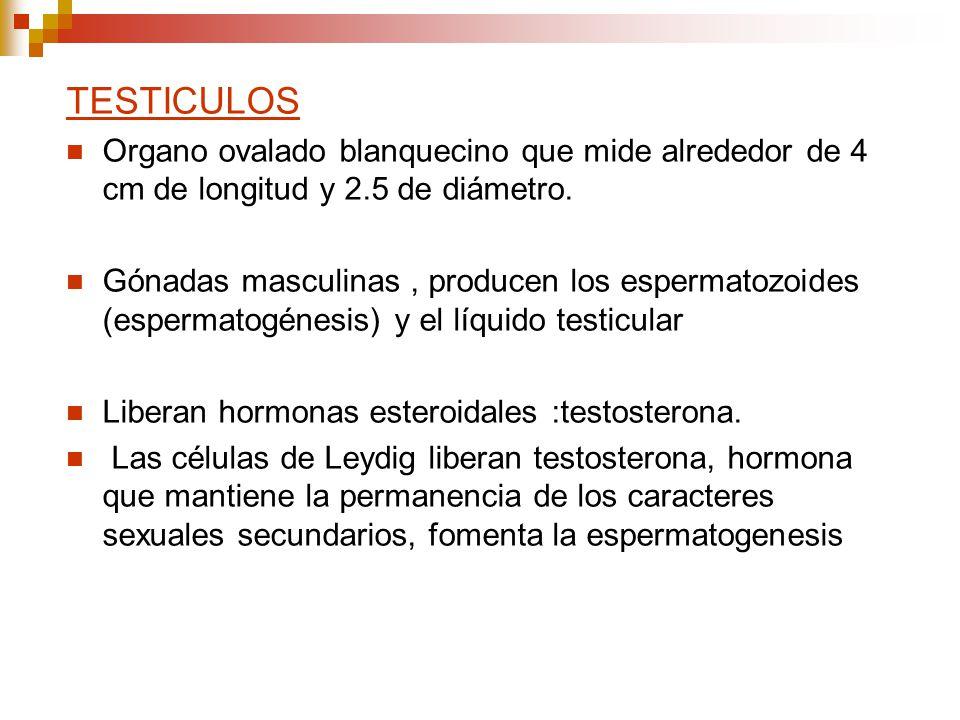 TESTICULOS Organo ovalado blanquecino que mide alrededor de 4 cm de longitud y 2.5 de diámetro. Gónadas masculinas, producen los espermatozoides (espe