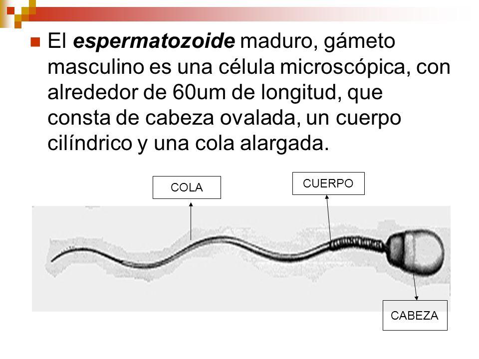 El espermatozoide maduro, gámeto masculino es una célula microscópica, con alrededor de 60um de longitud, que consta de cabeza ovalada, un cuerpo cilí