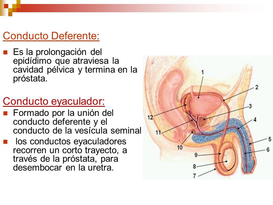 Conducto Deferente: Es la prolongación del epidídimo que atraviesa la cavidad pélvica y termina en la próstata. Conducto eyaculador: Formado por la un