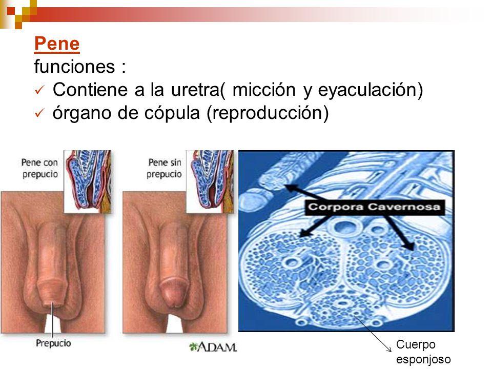 secrecion transparente del pene