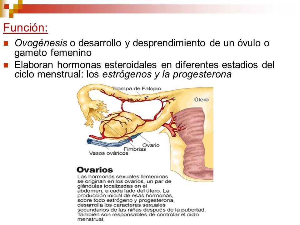 Función: Ovogénesis o desarrollo y desprendimiento de un óvulo o gameto femenino Elaboran hormonas esteroidales en diferentes estadios del ciclo menst
