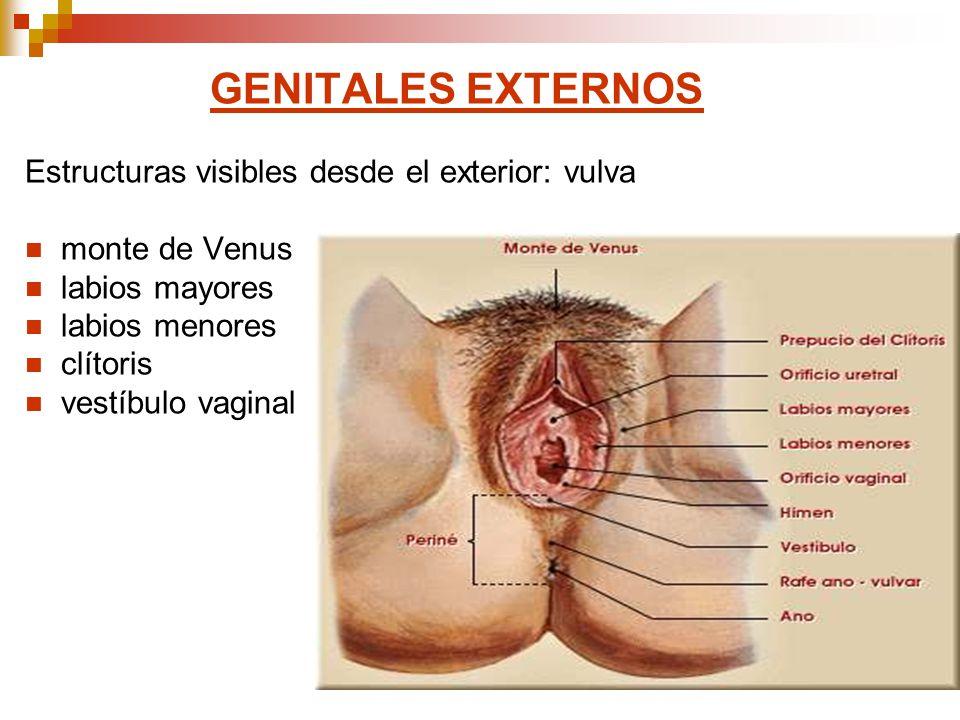 GENITALES EXTERNOS Estructuras visibles desde el exterior: vulva monte de Venus labios mayores labios menores clítoris vestíbulo vaginal