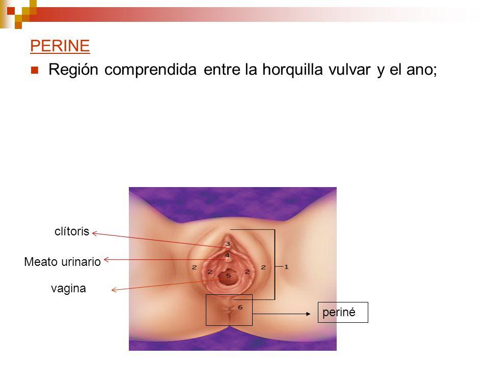 PERINE Región comprendida entre la horquilla vulvar y el ano; periné Meato urinario clítoris vagina