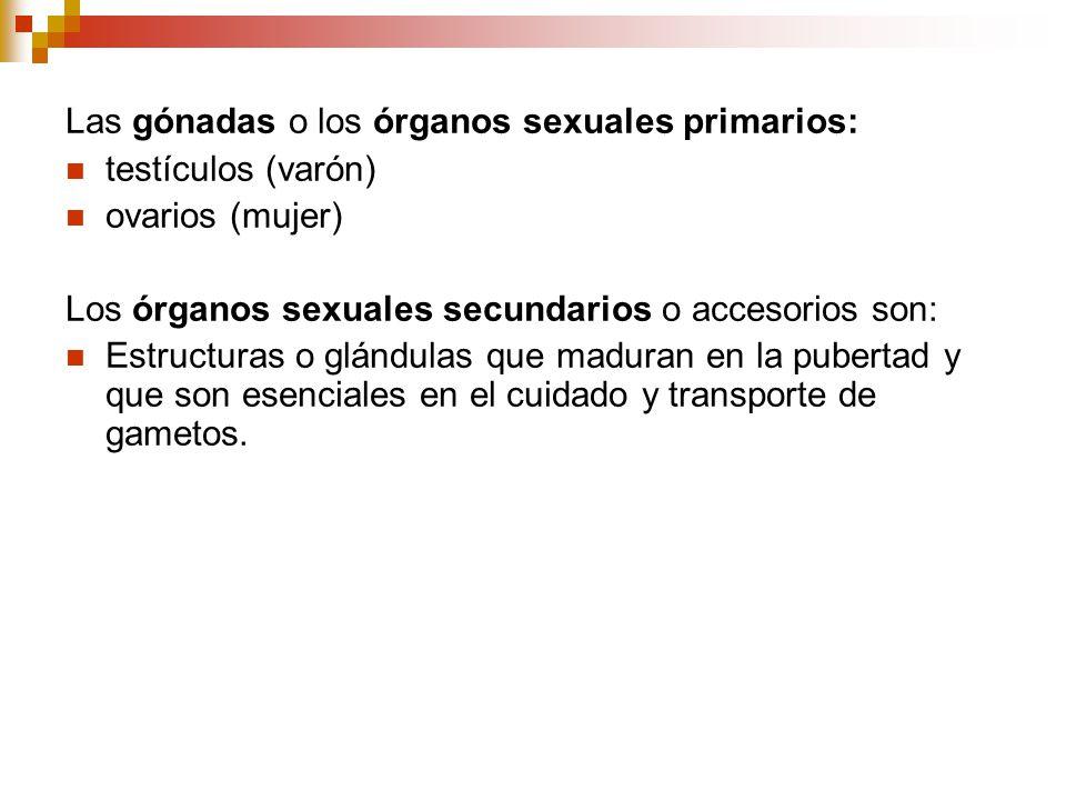 Las gónadas o los órganos sexuales primarios: testículos (varón) ovarios (mujer) Los órganos sexuales secundarios o accesorios son: Estructuras o glán