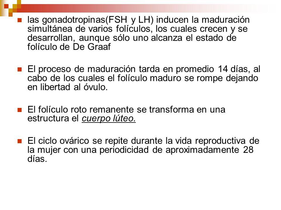 las gonadotropinas(FSH y LH) inducen la maduración simultánea de varios folículos, los cuales crecen y se desarrollan, aunque sólo uno alcanza el esta