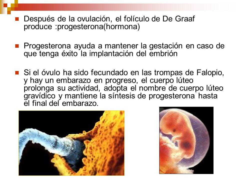 Después de la ovulación, el folículo de De Graaf produce :progesterona(hormona) Progesterona ayuda a mantener la gestación en caso de que tenga éxito