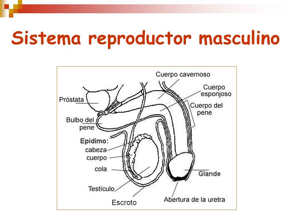 Sistema reproductor masculino Escroto