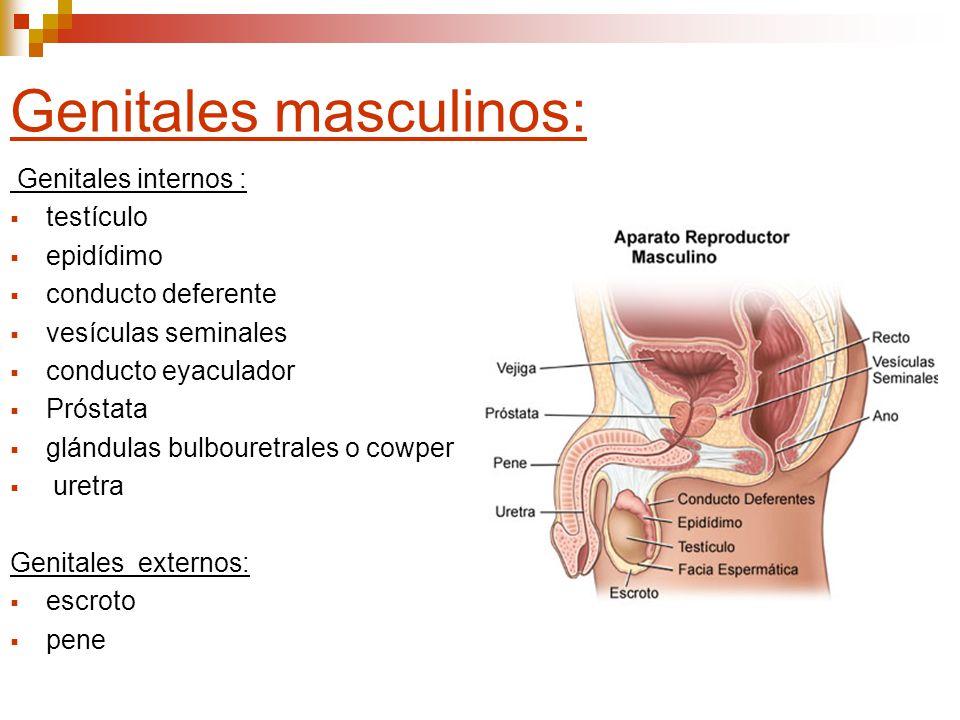 Funciones: Testículos o gónadas :Producción hormonal Sistema de vías espermáticas: evacuar los espermatozoides (túbulos intratesticulares, conductos deferentes, conductos eyaculadores), Glándulas exocrinas anexas (próstata, vesículas seminales y glándulas bulbouretrales) :facilitan la sobrevivencia de los espermatozoides pene: Organo copulador