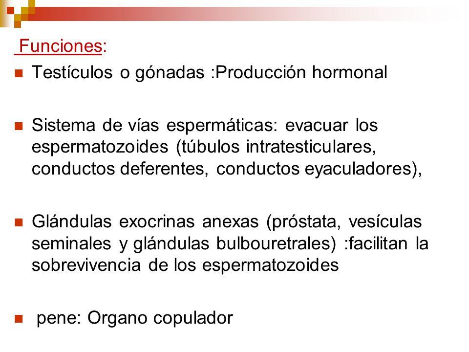 Funciones: Testículos o gónadas :Producción hormonal Sistema de vías espermáticas: evacuar los espermatozoides (túbulos intratesticulares, conductos d