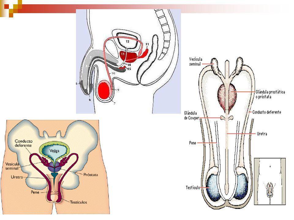 ANATOMIA SIST REPRODUCTOR MASCULINO ESCROTO: Piel que contiene en su interior a los testículos,epidídimos y cordones espermáticos.