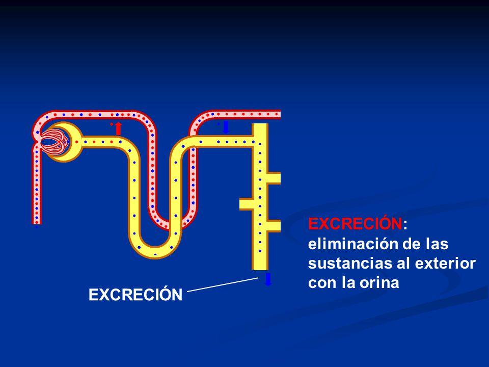 EXCRECIÓN: eliminación de las sustancias al exterior con la orina EXCRECIÓN