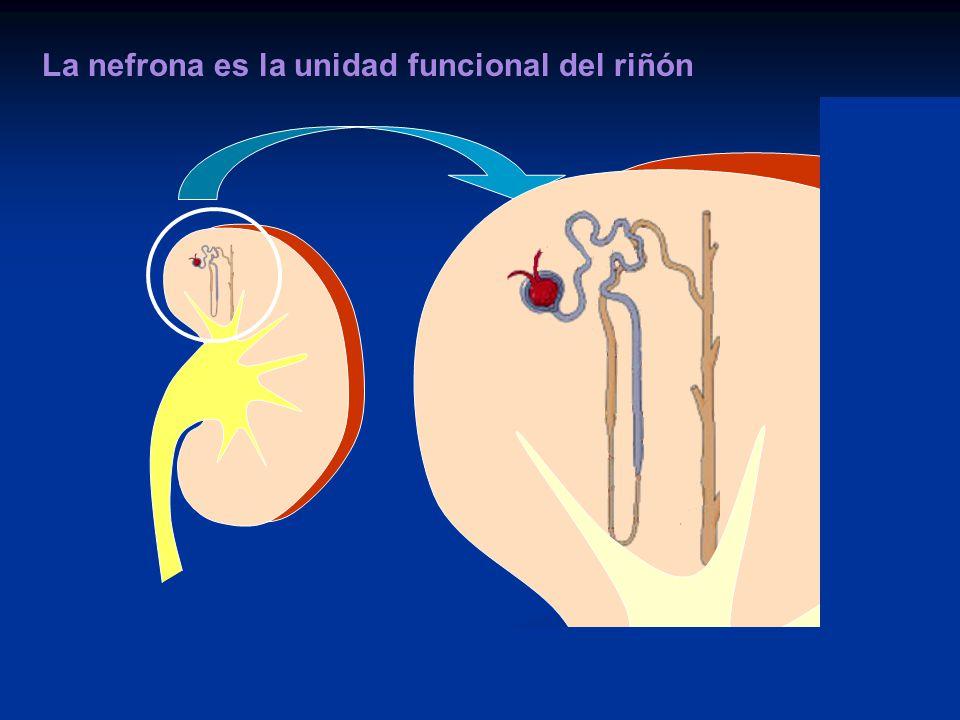 Otras Funciones del Riñón Eritropoyesis Eritropoyesis 1,25-Dihidroxivitamina D 3 1,25-Dihidroxivitamina D 3 Gluconeogénesis Gluconeogénesis Excresion de sustancias Bioactivas Excresion de sustancias Bioactivas Regulación de la presión arterial Regulación de la presión arterial