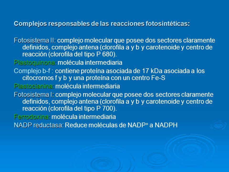 Complejos responsables de las reacciones fotosintéticas: Fotosistema II: Fotosistema II: complejo molecular que posee dos sectores claramente definido