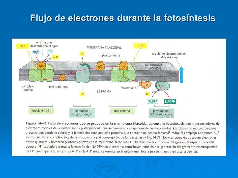Flujo de electrones durante la fotosíntesis