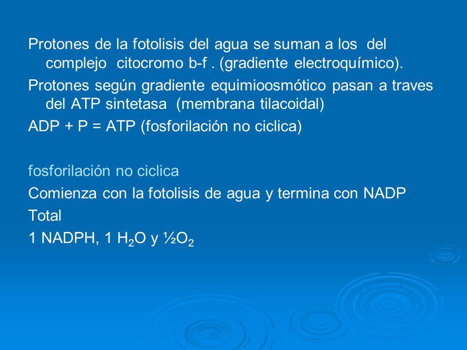 Protones de la fotolisis del agua se suman a los del complejo citocromo b-f. (gradiente electroquímico). Protones según gradiente equimioosmótico pasa