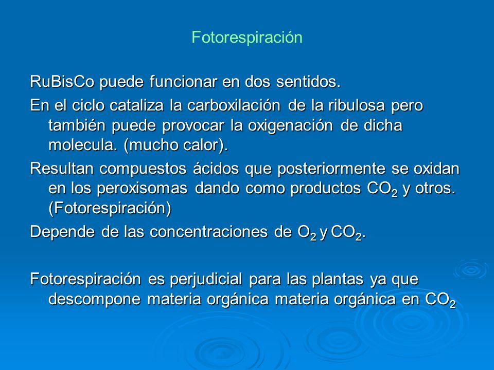 Fotorespiración RuBisCo puede funcionar en dos sentidos. En el ciclo cataliza la carboxilación de la ribulosa pero también puede provocar la oxigenaci