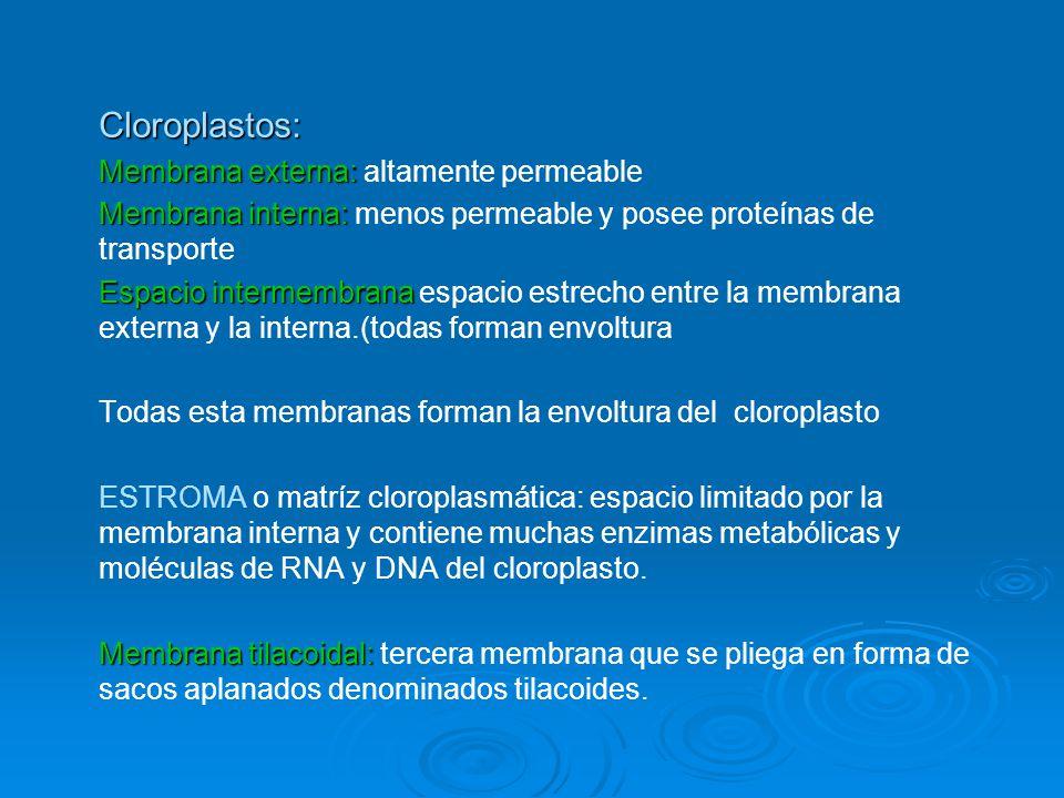 Cloroplastos: Membrana externa: Membrana externa: altamente permeable Membrana interna: Membrana interna: menos permeable y posee proteínas de transpo