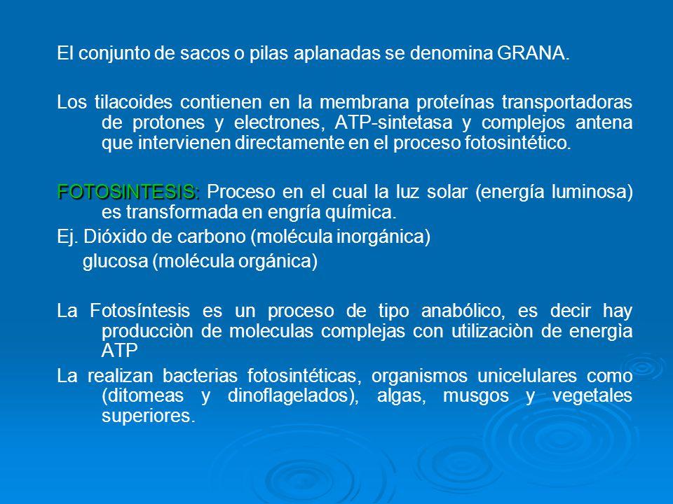 El conjunto de sacos o pilas aplanadas se denomina GRANA. Los tilacoides contienen en la membrana proteínas transportadoras de protones y electrones,