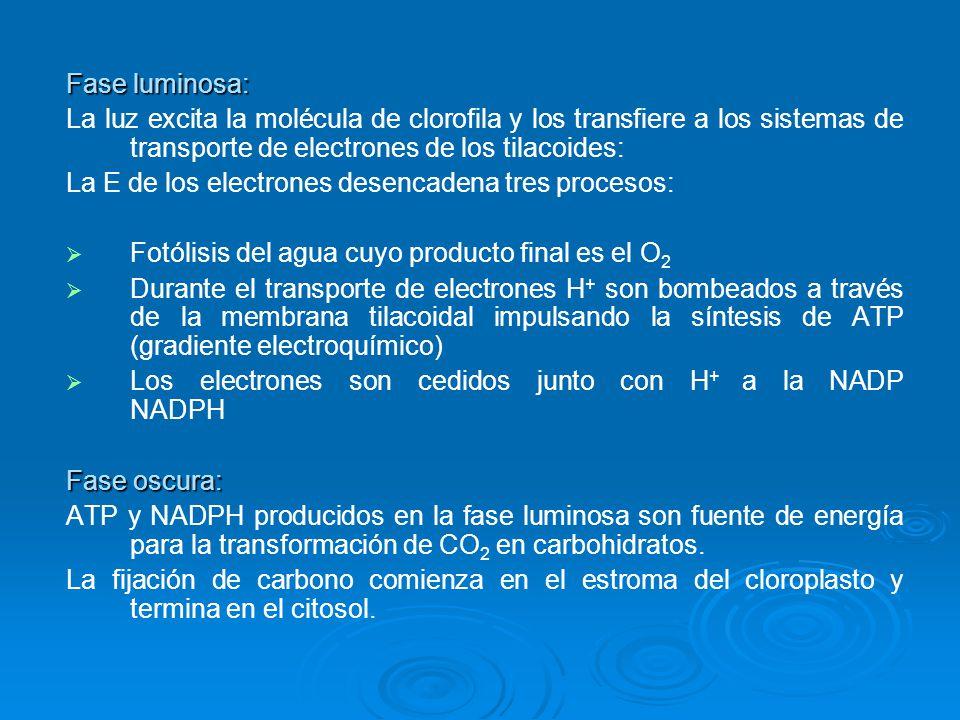 Fase luminosa: La luz excita la molécula de clorofila y los transfiere a los sistemas de transporte de electrones de los tilacoides: La E de los elect