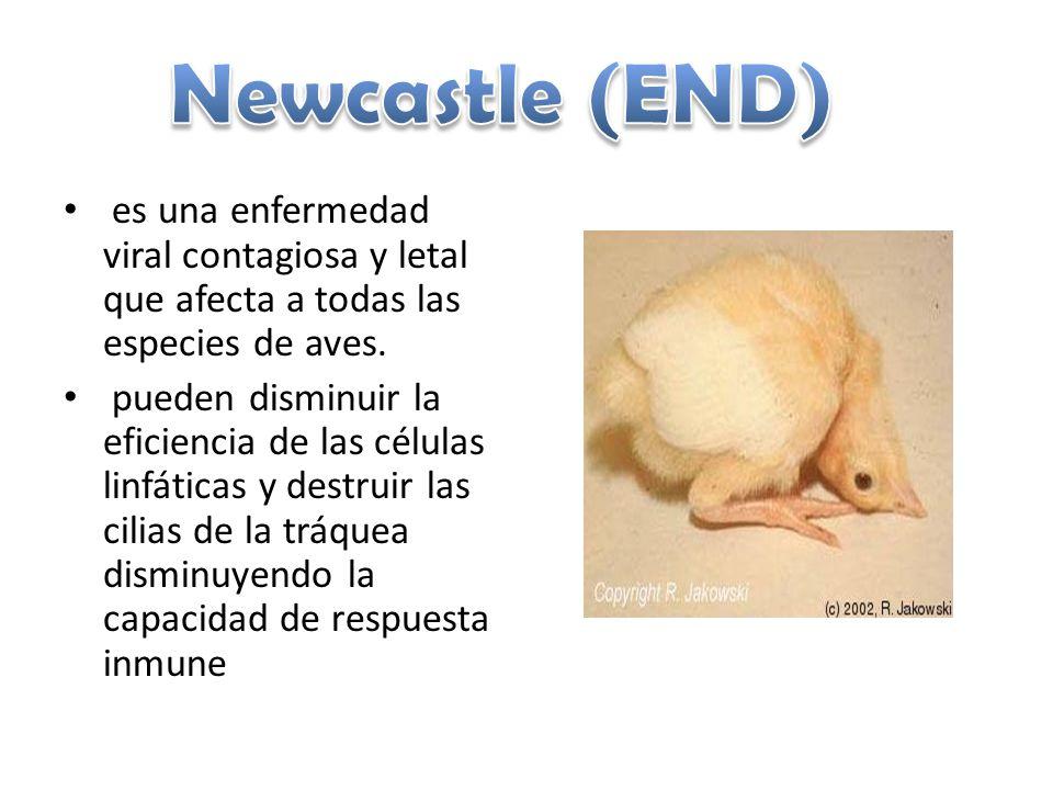 es una enfermedad viral contagiosa y letal que afecta a todas las especies de aves. pueden disminuir la eficiencia de las células linfáticas y destrui