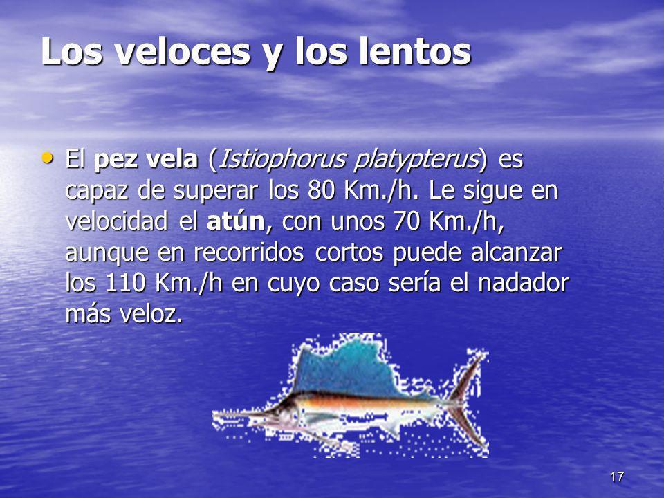 17 Los veloces y los lentos El pez vela (Istiophorus platypterus) es capaz de superar los 80 Km./h. Le sigue en velocidad el atún, con unos 70 Km./h,