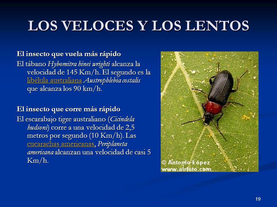 19 LOS VELOCES Y LOS LENTOS El insecto que vuela más rápido El tábano Hybomitra hinei wrighti alcanza la velocidad de 145 Km/h. El segundo es la libél