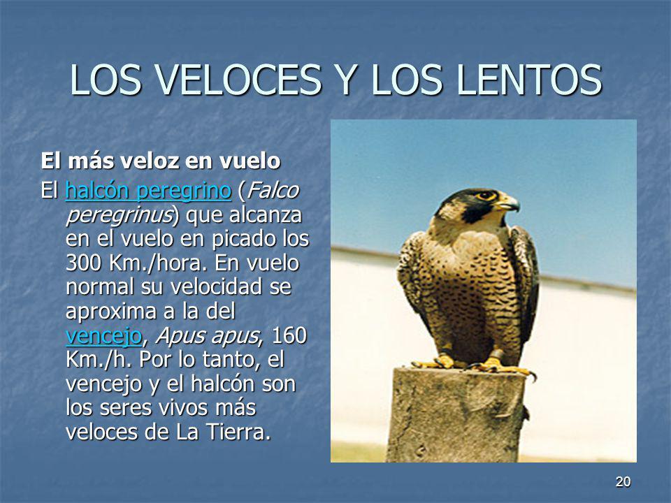 20 LOS VELOCES Y LOS LENTOS El más veloz en vuelo El halcón peregrino (Falco peregrinus) que alcanza en el vuelo en picado los 300 Km./hora. En vuelo