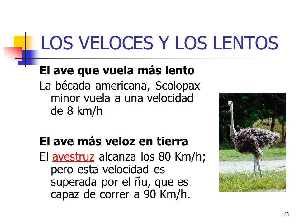 21 LOS VELOCES Y LOS LENTOS El ave que vuela más lento La bécada americana, Scolopax minor vuela a una velocidad de 8 km/h El ave más veloz en tierra