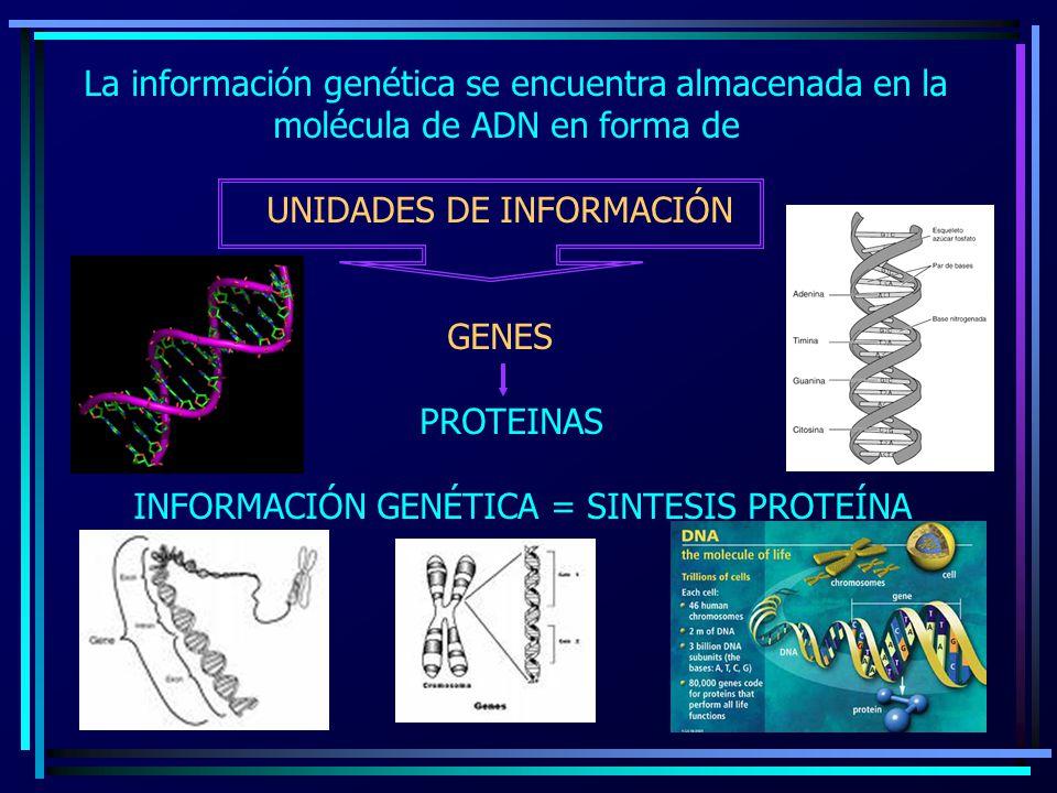 La información genética se encuentra almacenada en la molécula de ADN en forma de UNIDADES DE INFORMACIÓN GENES PROTEINAS INFORMACIÓN GENÉTICA = SINTE