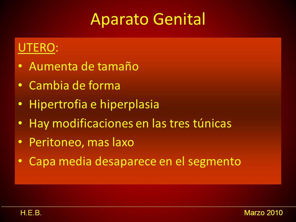 H.E.B.Marzo 2010 Aparato Genital UTERO: Aumenta de tamaño Cambia de forma Hipertrofia e hiperplasia Hay modificaciones en las tres túnicas Peritoneo,