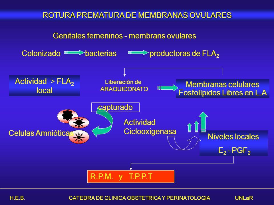 H.E.B. CATEDRA DE CLINICA OBSTETRICA Y PERINATOLOGIA UNLaR ROTURA PREMATURA DE MEMBRANAS OVULARES Genitales femeninos - membrans ovulares Colonizado b