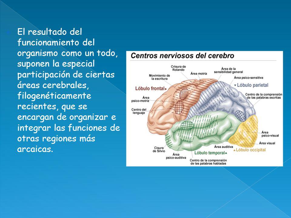 El resultado del funcionamiento del organismo como un todo, suponen la especial participación de ciertas áreas cerebrales, filogenéticamente recientes