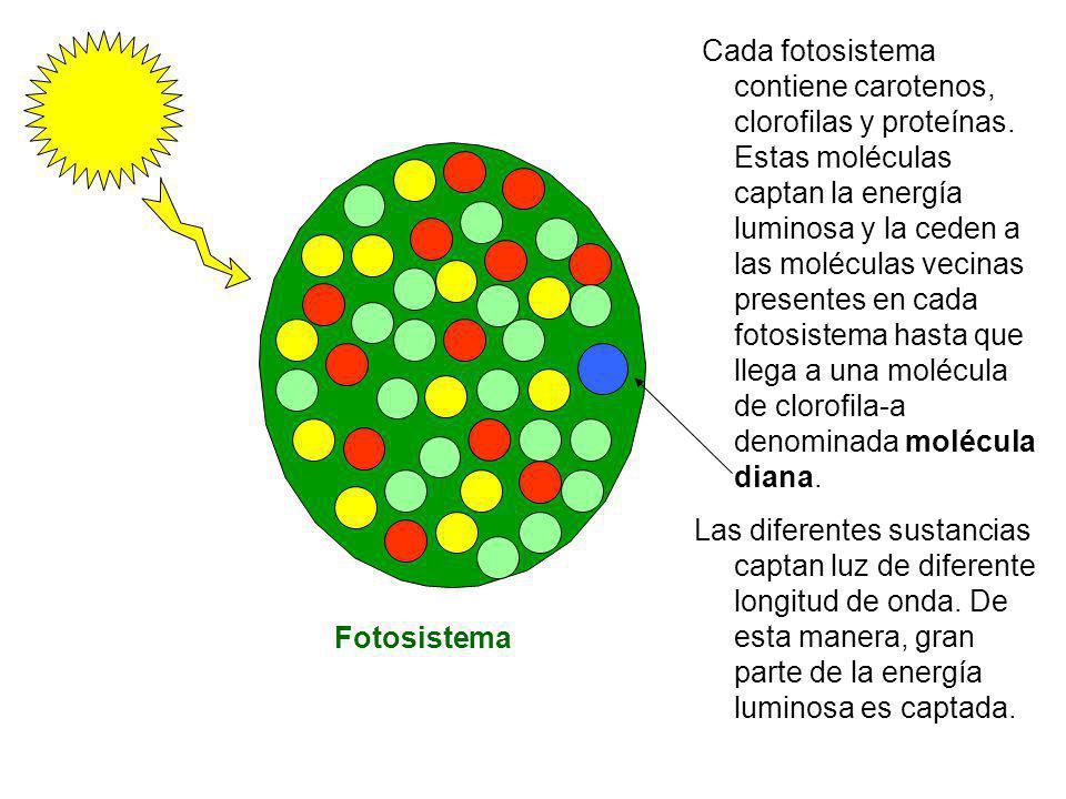 Fotosistema Cada fotosistema contiene carotenos, clorofilas y proteínas. Estas moléculas captan la energía luminosa y la ceden a las moléculas vecinas