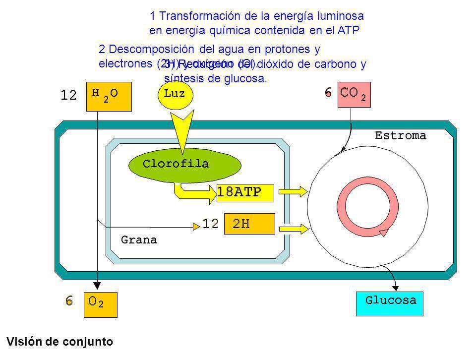 1 Transformación de la energía luminosa en energía química contenida en el ATP 2 Descomposición del agua en protones y electrones (2H) y oxígeno (O).