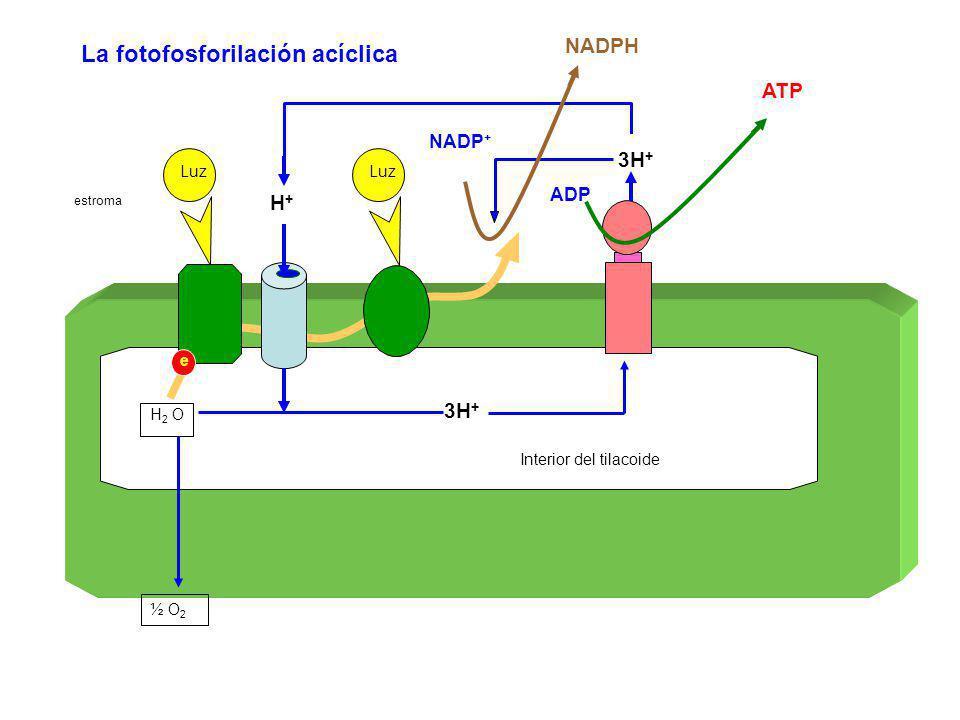 Luz estroma H 2 O 3H + Interior del tilacoide ½ O 2 H+H+ La fotofosforilación acíclica e Luz ADP ATP NADP + NADPH