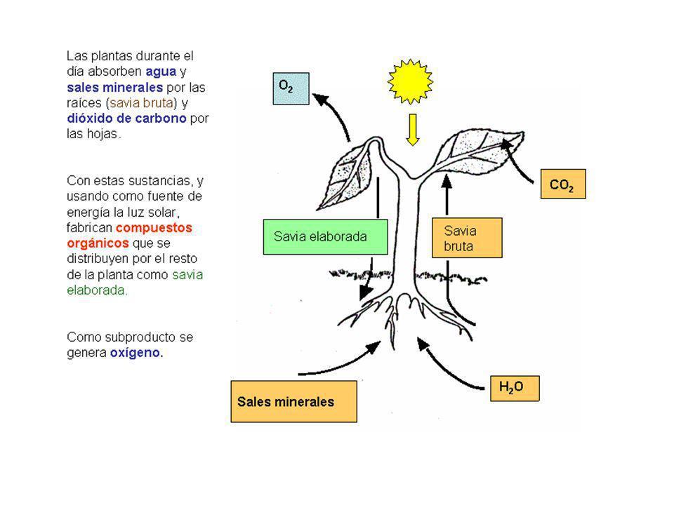 Fotosistema Cada fotosistema contiene carotenos, clorofilas y proteínas.