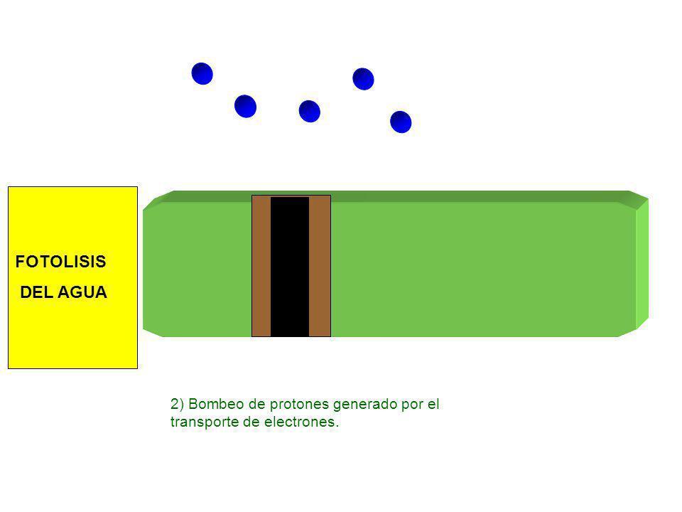 2) Bombeo de protones generado por el transporte de electrones. FOTOLISIS DEL AGUA
