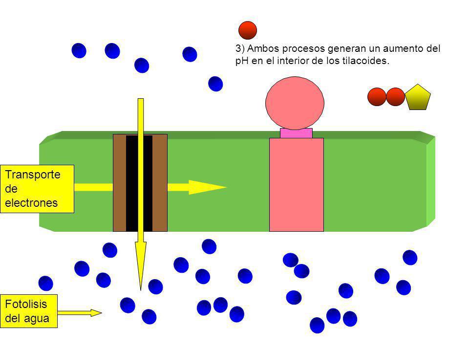 Fotolisis del agua 3) Ambos procesos generan un aumento del pH en el interior de los tilacoides. Transporte de electrones