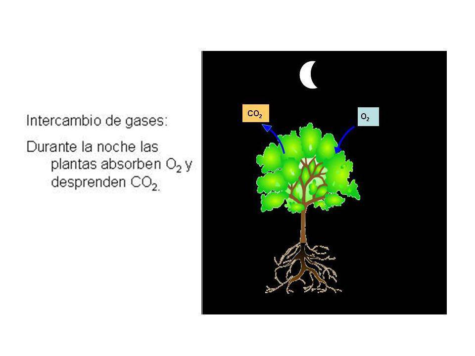Luz estroma Interior del tilacoide La fotofosforilación acíclica Luz ADP ATP NADP + e e NADPH