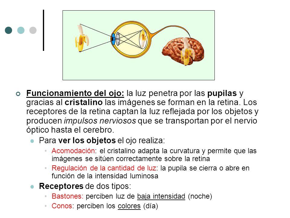 Funcionamiento del ojo: la luz penetra por las pupilas y gracias al cristalino las imágenes se forman en la retina. Los receptores de la retina captan