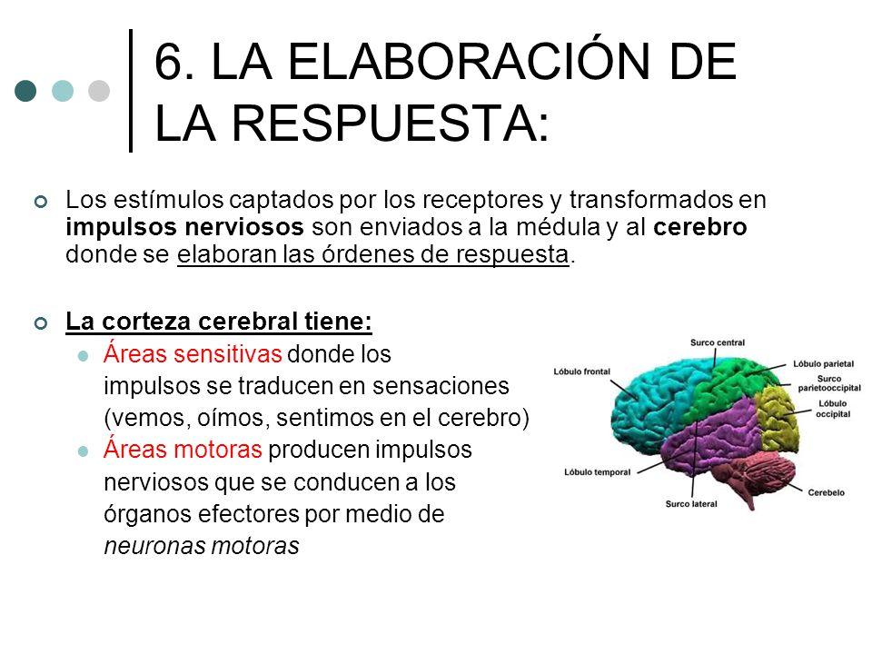 6. LA ELABORACIÓN DE LA RESPUESTA: Los estímulos captados por los receptores y transformados en impulsos nerviosos son enviados a la médula y al cereb