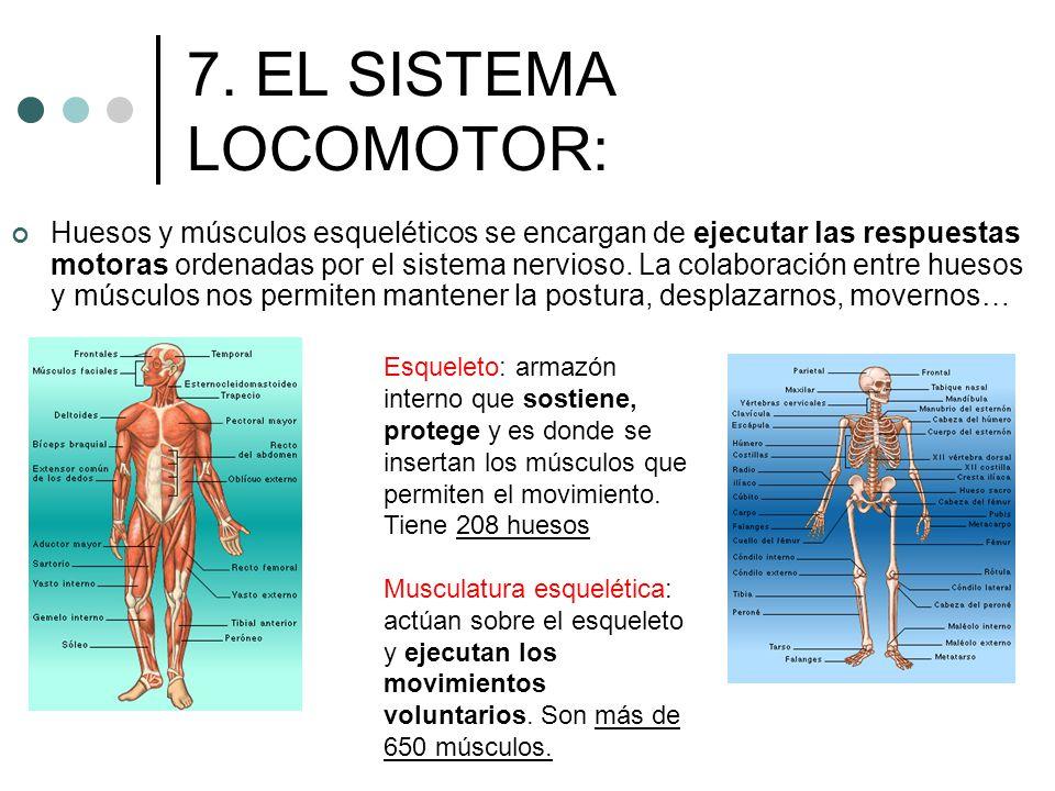 7. EL SISTEMA LOCOMOTOR: Huesos y músculos esqueléticos se encargan de ejecutar las respuestas motoras ordenadas por el sistema nervioso. La colaborac
