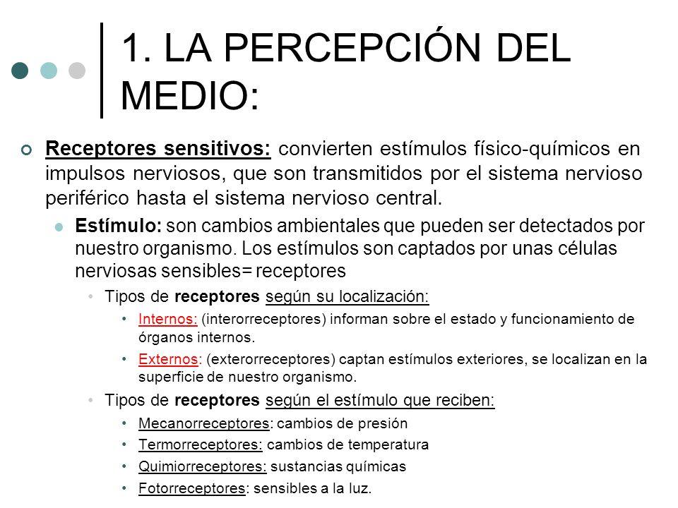 1. LA PERCEPCIÓN DEL MEDIO: Receptores sensitivos: convierten estímulos físico-químicos en impulsos nerviosos, que son transmitidos por el sistema ner