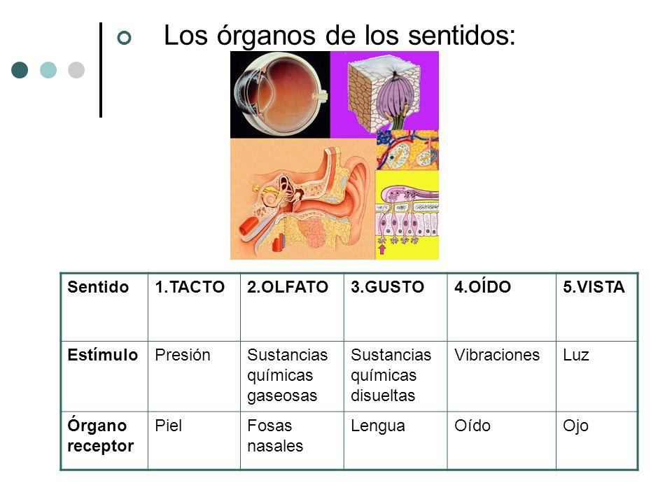 Los órganos de los sentidos: Sentido1.TACTO2.OLFATO3.GUSTO4.OÍDO5.VISTA EstímuloPresiónSustancias químicas gaseosas Sustancias químicas disueltas Vibr