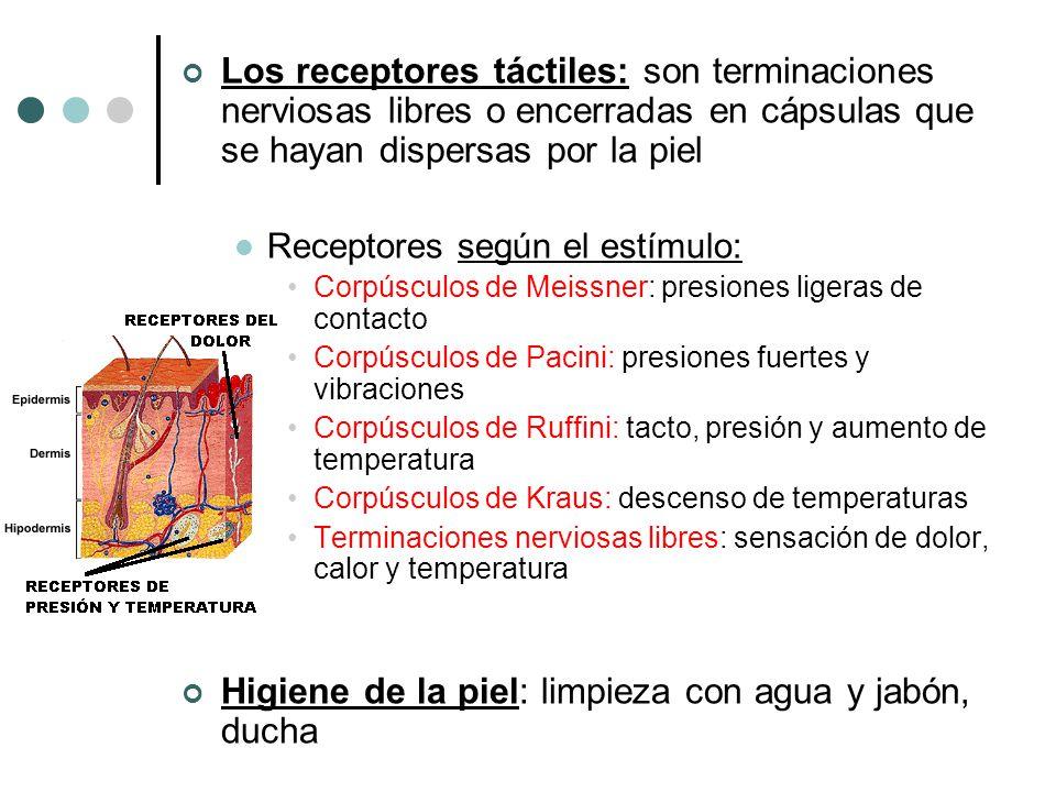 Los receptores táctiles: son terminaciones nerviosas libres o encerradas en cápsulas que se hayan dispersas por la piel Receptores según el estímulo: