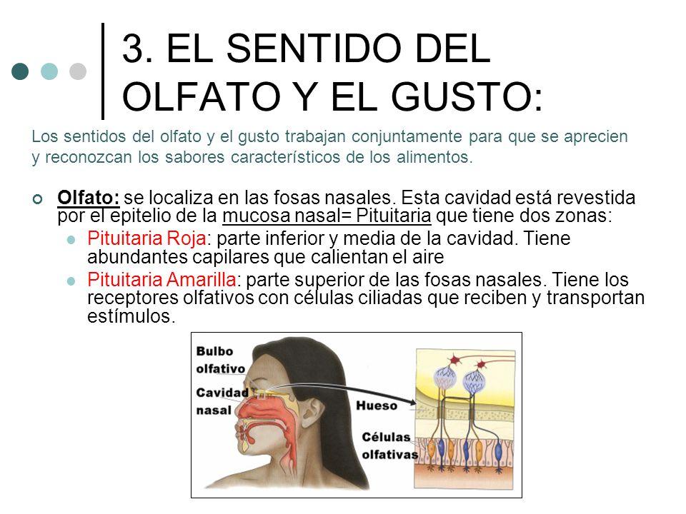 3. EL SENTIDO DEL OLFATO Y EL GUSTO: Olfato: se localiza en las fosas nasales. Esta cavidad está revestida por el epitelio de la mucosa nasal= Pituita